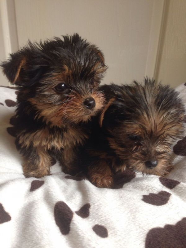 2 baby Yorkshire terrier pups