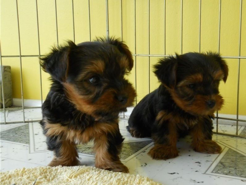 Gorgeous Teacup Yorkie puppies For Rehoming  Text (419) 635-7149