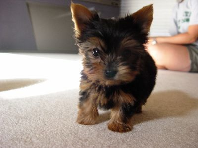 Little tiny Teacup Yorkshire terrier puppies