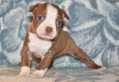 Super Giant Breed Chocolate And White Boston Terrier Pups For Sale
