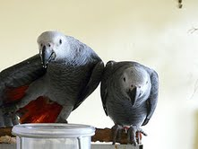 Cute and Adorable African grey parrots