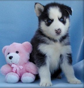 cute male and female Siberian Husky puppies