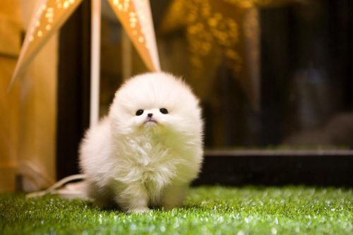 ~Adorable Top Quality Micro Tiny Tcup Pom Puppies!