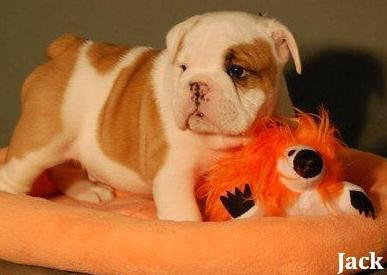 healthy  English Bulldog  puppies for new home adoption