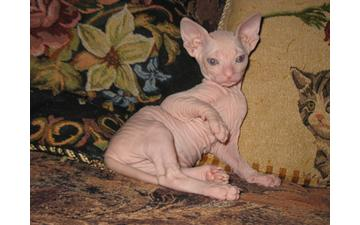 Sphynx Kittens, Parents from Russia.