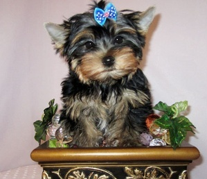 Beautiful Lovely Male And Female Tea Cup Yorkie Puppies