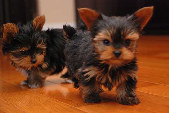 AKC Registered Teacup Yorkie Puppies Text 201-372-4227