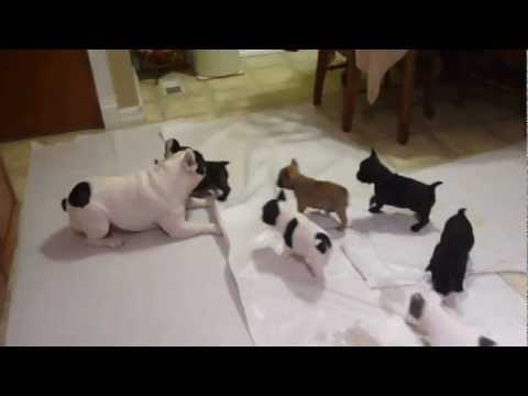 Help rehome these French bulldog puppies