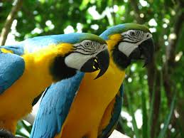 Macaw Parrots / birds with fertile parrots eggs for sale