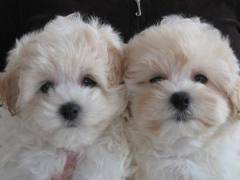 Affordable Male and Female Maltese Puppies