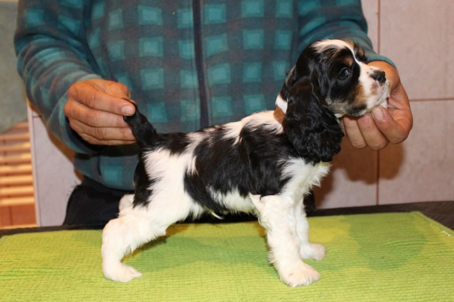 American Cocker Spaniel with pedigree