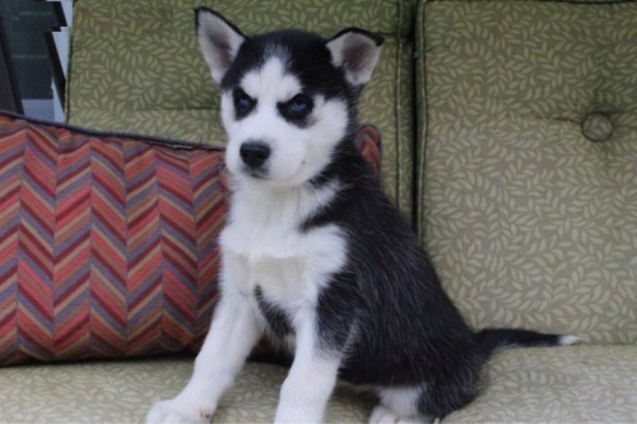 Healthy Cute Siberian Husky Puppies Ready for adoption.