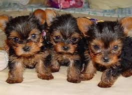 Purebred tiny teacup Yorkie puppies