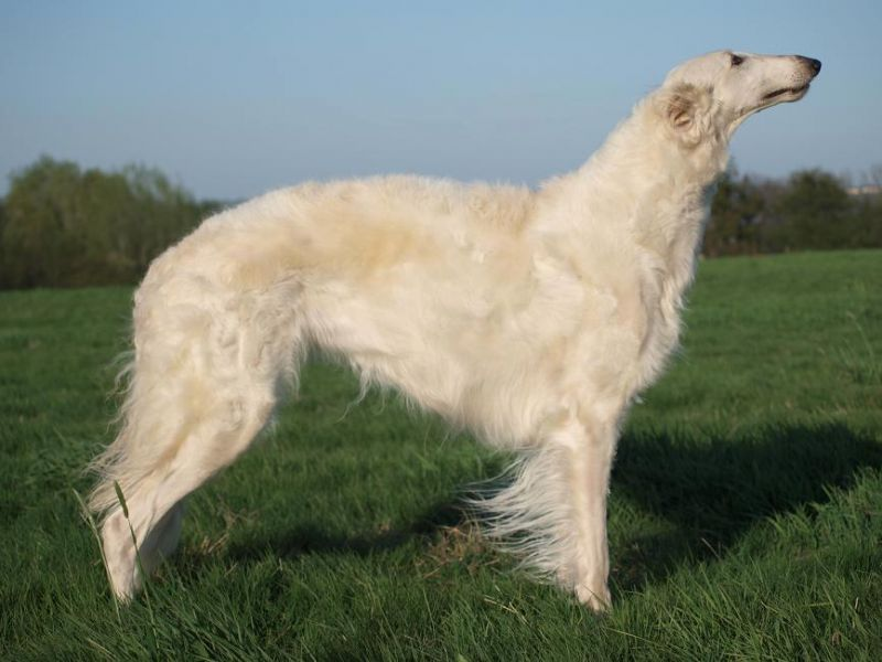 Borzoi purebred puppies FCI registrated