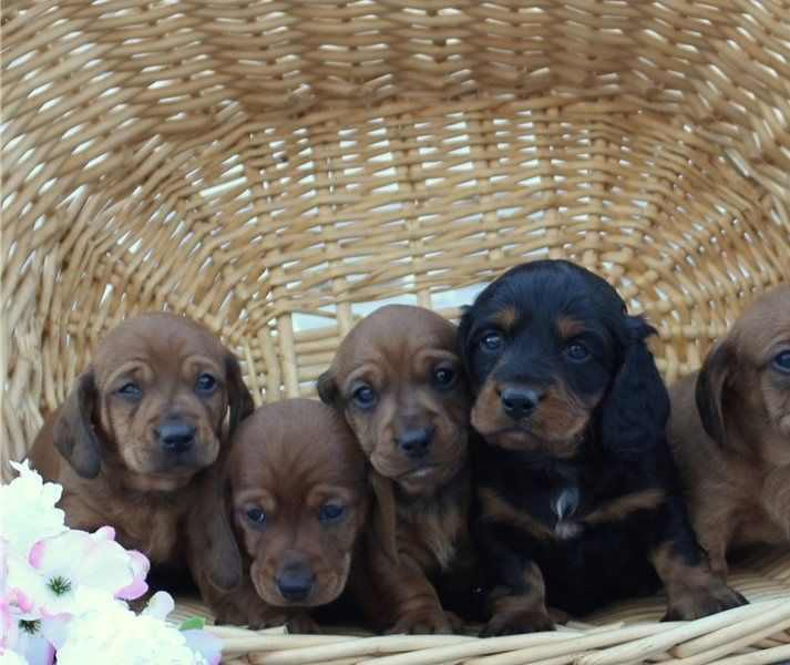 Dachshund puppies available