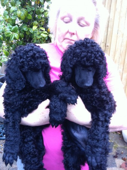 Available Miniature Poodle Pups For adoption