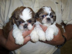 Beautiful male and shih tzu for sale