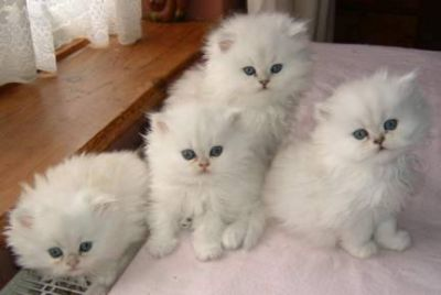 Chunky Teacup persian kittens available to good home
