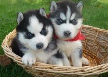 11 weeks old male and female Siberian husky looking for great home