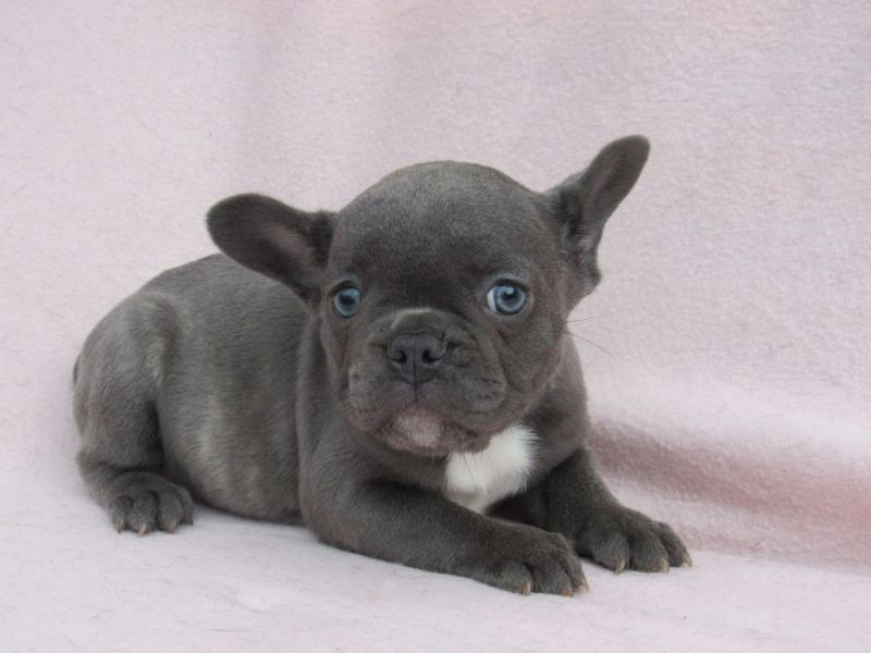 Blue Pied French Bulldog Puppies for Sale