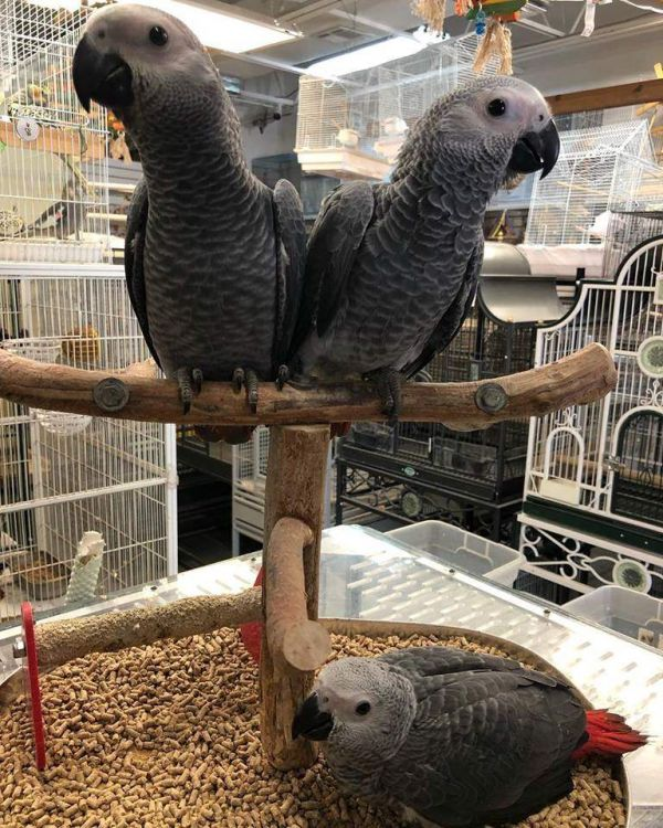 Adorable African Grey Parrot & Eggs For Sale