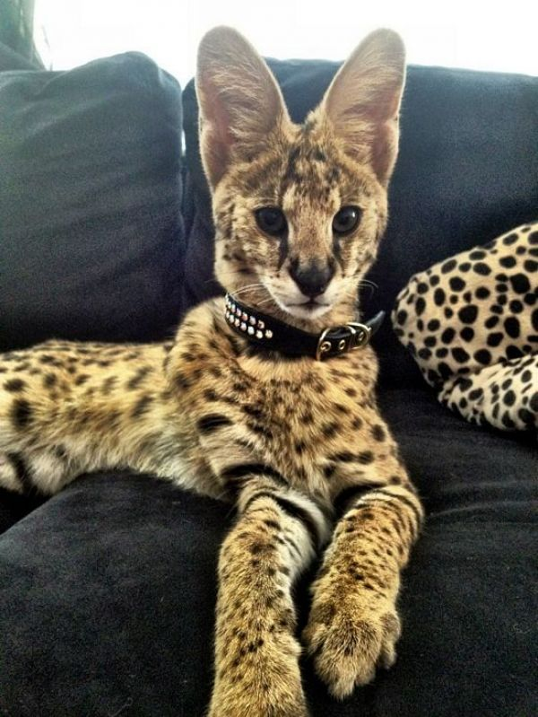 Stunning Serval Kittens Ready for their forever homes now.