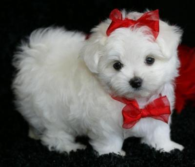 TEACUP MALTESE PUPPIES FOR X-MAS