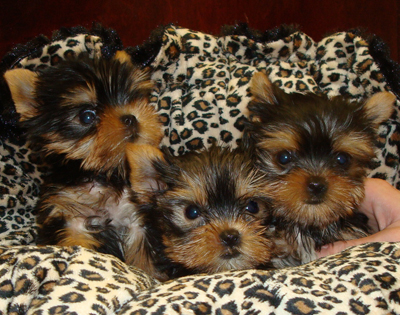 Males and Females Yorkie Puppies For Adoption.