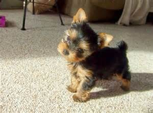 Cute yorkie puppies for adoption text 901-618-0359