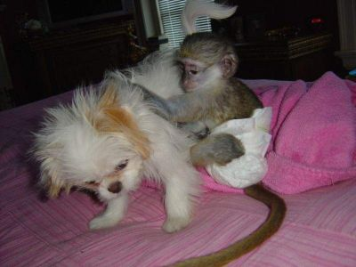 Super cute and potty train capuchin monkeys for adoption