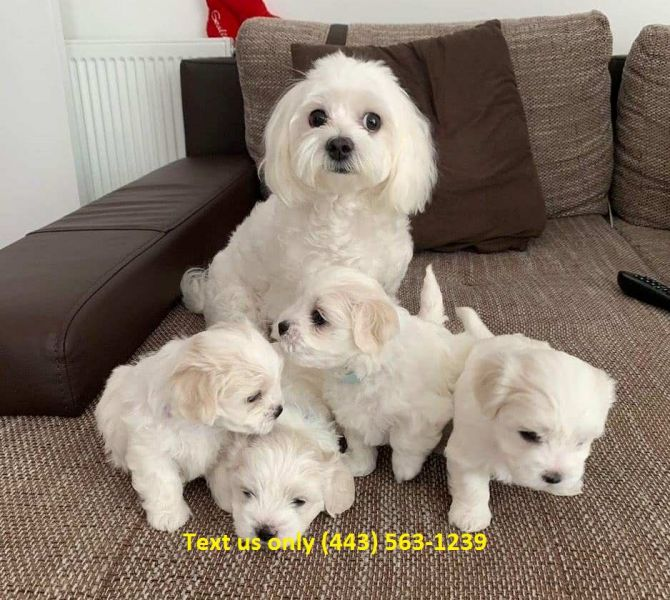 Maltese puppies for sale Text (443) 563-1239