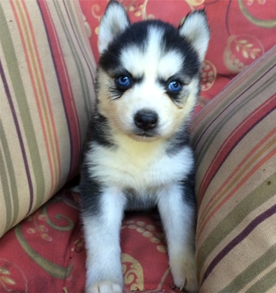 Trained Blue Eyes Siberian Husky Puppies