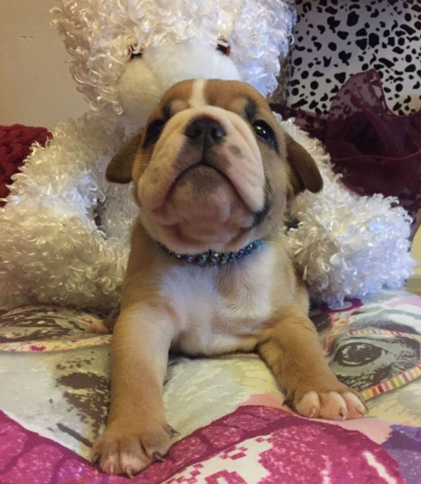 Stunning English Bulldogs Champion Bloodlines