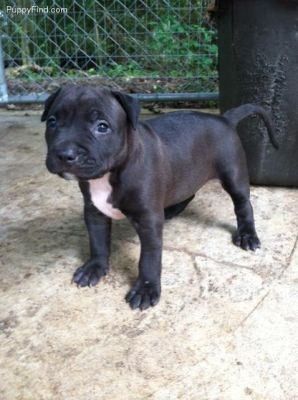 Cute and Lovely Male and Female Pitbull terriers