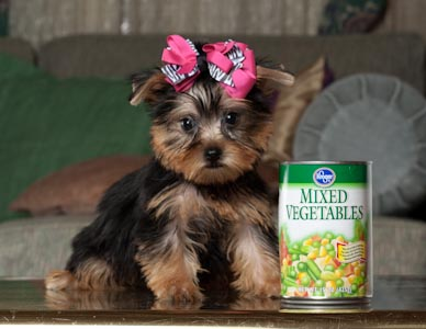 Here are some cute teacup Yorkie puppies that will steal your heart