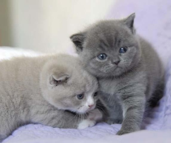 Pedigree British Shorthair Blue Kittens With Great Health History