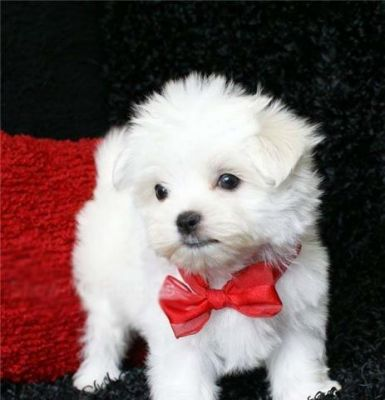 Gorgeous Maltese Puppy Available For Adoption
