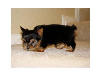 Teacup Yorkie Puppies Available.
