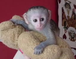 Male & Female Babies Capuchin,Marmoset, Squirrel & Spider monkeys for free adoption