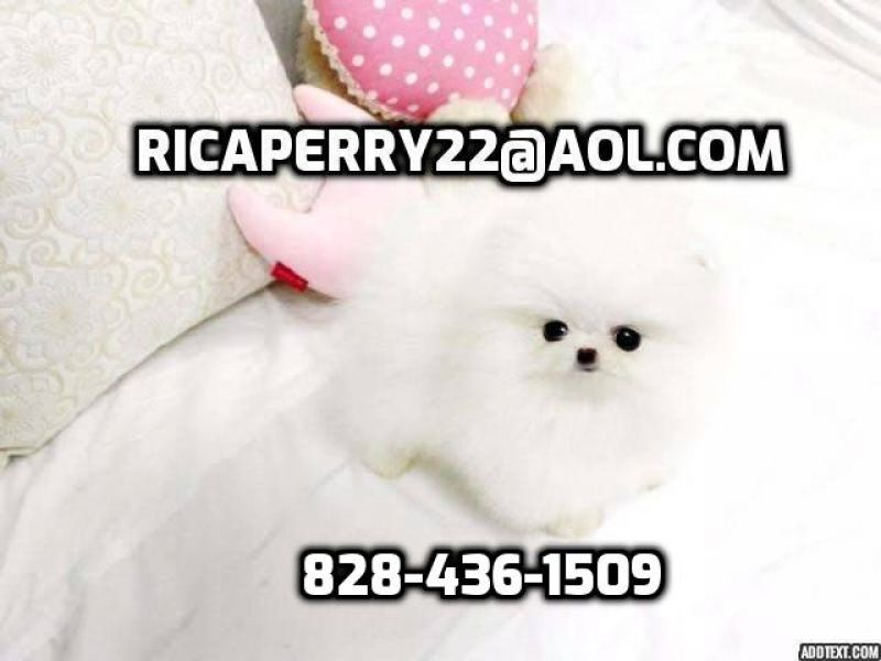 Micro Teacup Platinum Quality White Pom!