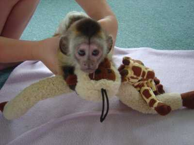 Male and female capuchin monkeys for adoption