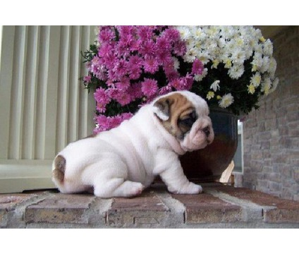 ADORABLE AND socialized ENGLISH BULLDOG PUPPIES FOR sale