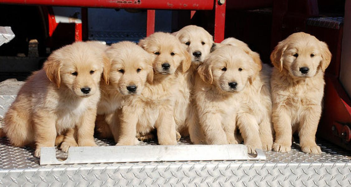 Adorable pure breed Golden Retriever  puppies