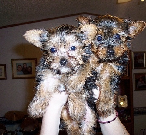 Akc Yorkie Puppies  for Adoption.
