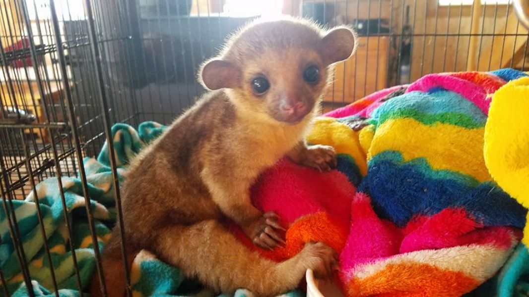 Beautiful Fennec Foxes,Spotted Genet,Cheetah and Kinkajou for sale