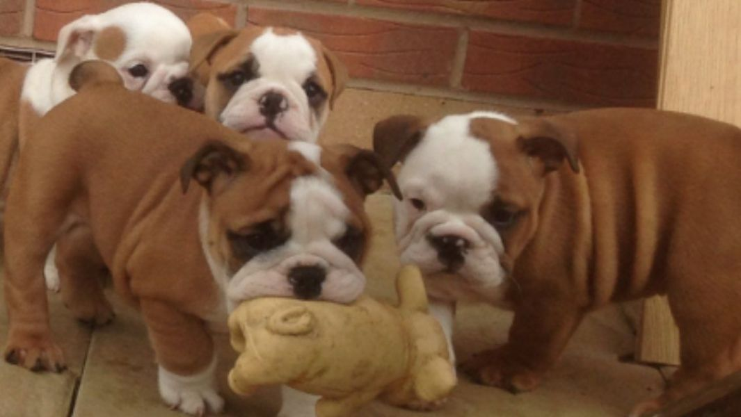 Smart CKC Register British Bulldog Puppies