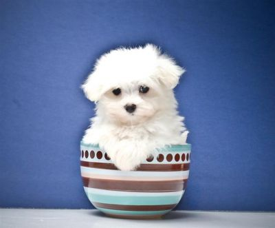 SWEET maltese puppies for YOU