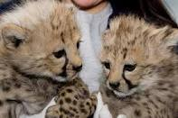 Tamed baby tiger cubs and cheetahs for  very low cost