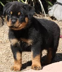 male rottwelier puppy