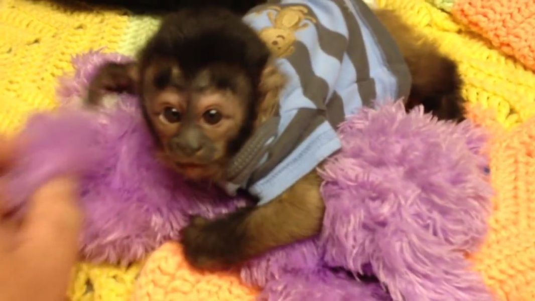 Healthy Weaned Capuchin Monkey Babies Available